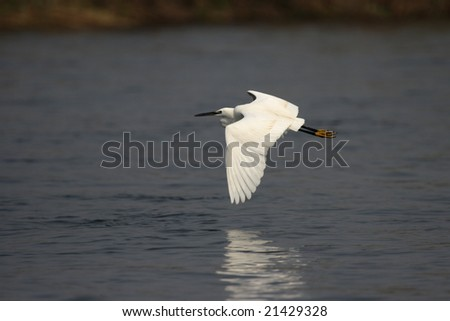 Little Egret (Egretta garzetta) in the Okavango Delta, Botswana.