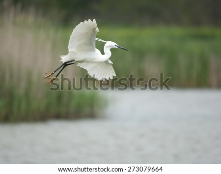 Little egret, Egretta garzetta, single bird in flight - stock photo