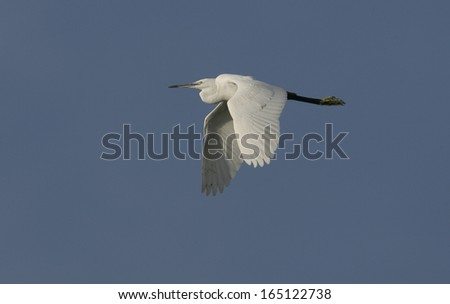 Little egret,  Egretta garzetta, single bird in flight, Spain