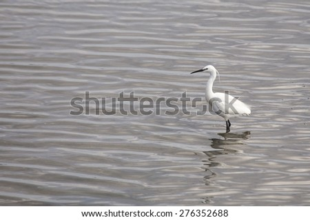 Little Egret (Egretta garzetta) spotted outdoors in Dublin, Ireland - stock photo