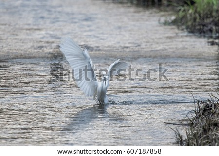 Little Egret Fishing wings up in river