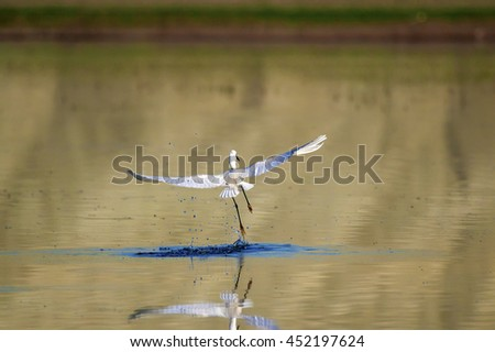 Little Egret flying on water background - stock photo