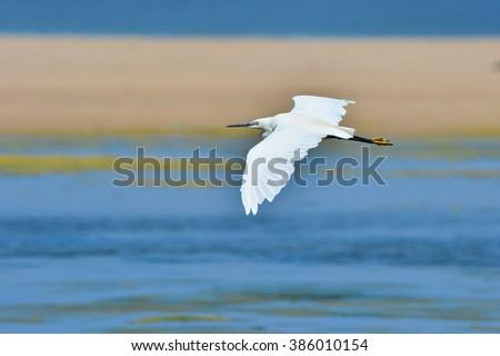 Little Egret in flight - stock photo