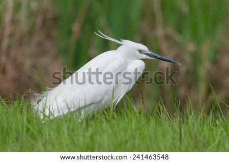 Little egret in grassland, near the river. - stock photo
