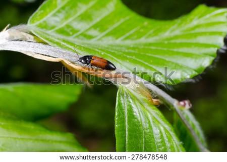 little elaterid in spring (beech leafs) - stock photo