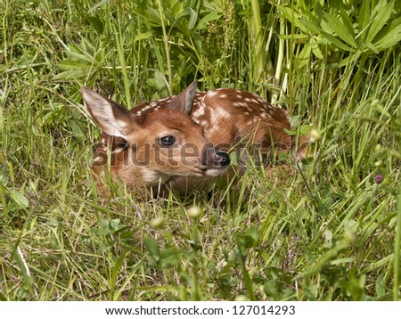 Little Fawn Curled up in the Grass