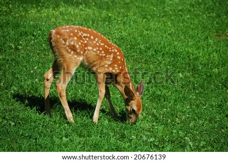 little fawn grazing on the green grass