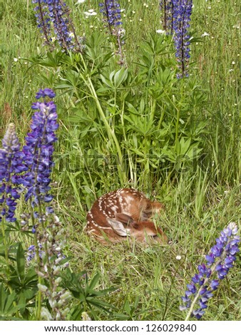 Little Fawn in the Lupines - stock photo