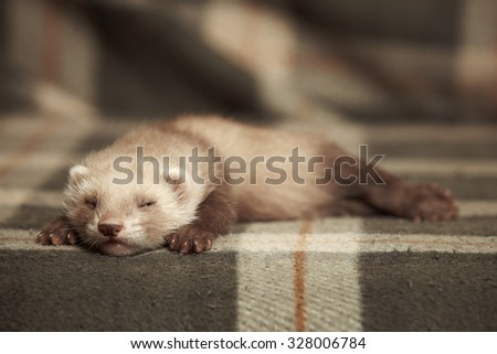 Little ferret sleeping on blanket - stock photo