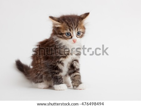 little fluffy brown kitten on light background