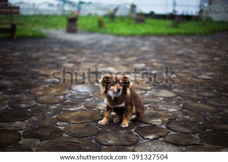 little fluffy dog with orange, brown and white fur, the dog is sitting on a tree stump - stock photo