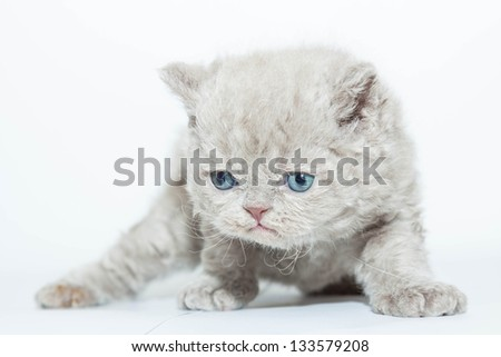 Little fluffy kitten badly on its feet. His blue eyes looked down frightened and sad - stock photo