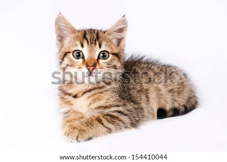 Little fluffy kitten British lies on a isolated white background - stock photo
