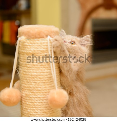 little fluffy Persian kitten playing on the cat scratching posts - stock photo