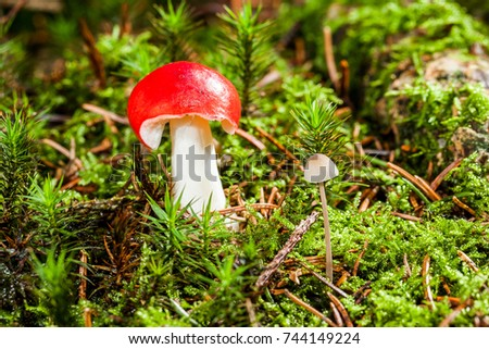 little fly- amanita muscaria