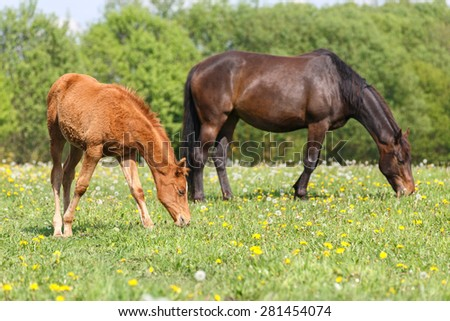 Little foal and a mare grazing grass. - stock photo