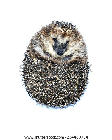 Little forest hedgehog lying on his back isolated on white background - stock photo