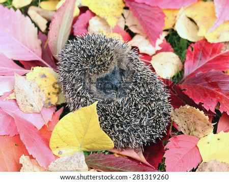Little forest hedgehog on a background of bright multi-colored autumn leaves - stock photo