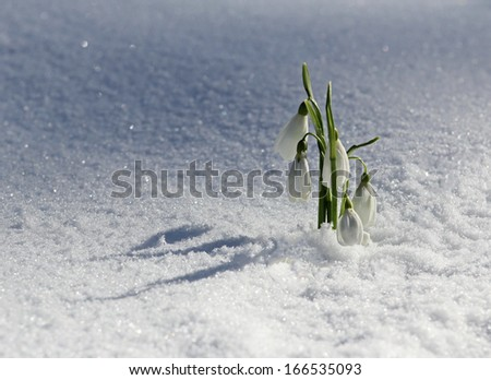 Little fragile snowdrops in the snow