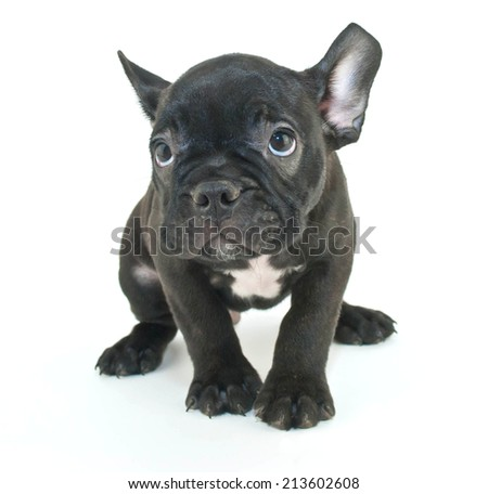Little French Bulldog puppy looking sad or sorry about something he has done, on a white background.