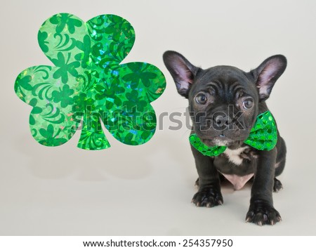 Little French Bulldog puppy wearing a green bow tie sitting next to a shamrock with copy space.