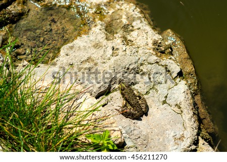 Little frog sitting on a rock on the shore of the lake - stock photo