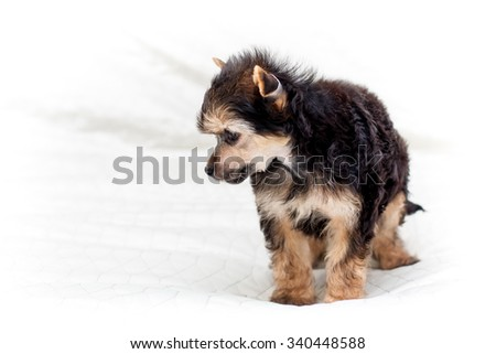 Little funny brown color Chinese puppy dog playing on the bed - stock photo