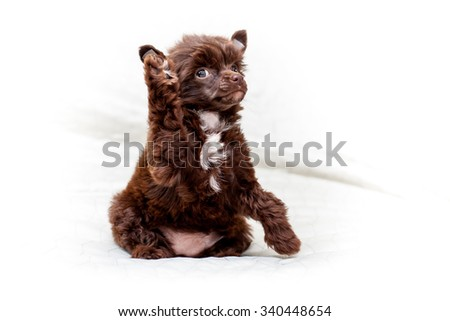 Little funny brown color Chinese puppy dog says Hello everyone - stock photo