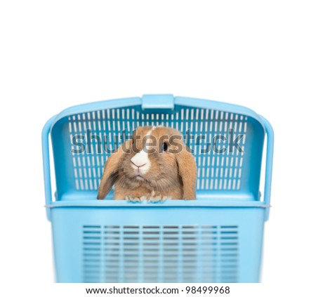 Little funny bunny peeping out of blue basket. Isolated on white background with place for copy.
