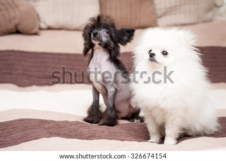 Little funny Chinese Crested dog sitting on the bed with white Spitz - stock photo