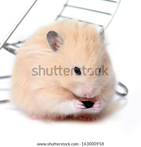 Little funny hamster eating a seed isolated on white  - stock photo