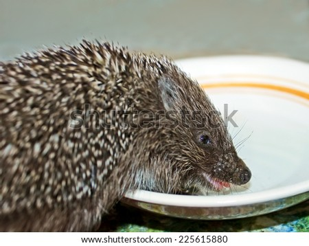 Little funny hedgehog drinks milk from a plate, close-up - stock photo