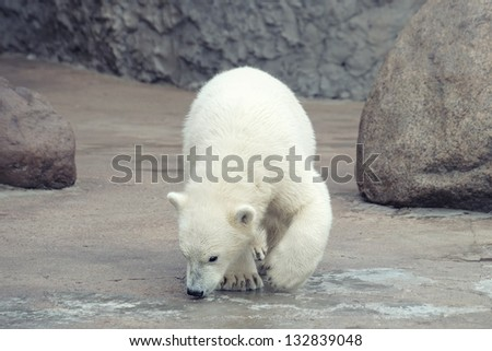 Little funny white polar bear snuff - stock photo