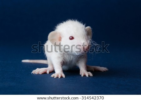 Little furry rat with red eyes on a blue background