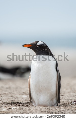 Little gentoo penguin in Antarctica