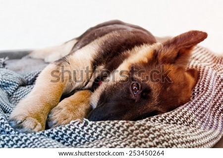 Little german shepherd - stock photo