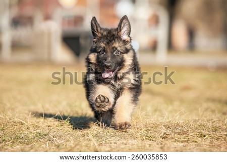 Little german shepherd puppy running in the park