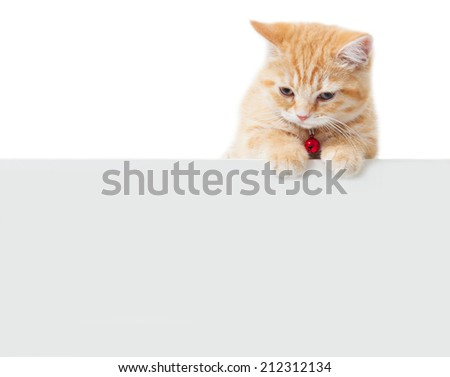 little Ginger british shorthair cats with white board - stock photo