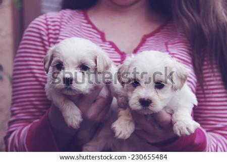 little girl holding maltese puppies - stock photo