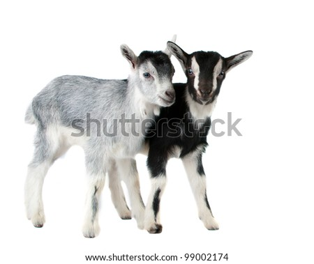 little goat isolated on white background - stock photo