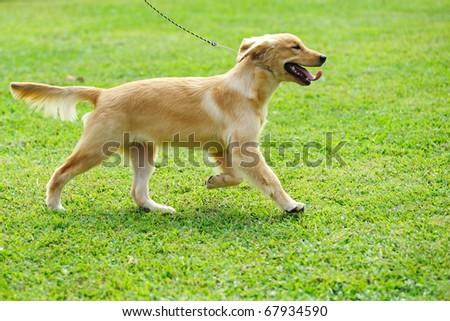 Little golden retriever dog running - stock photo