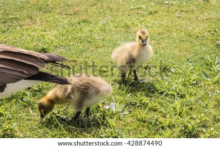 Little goslings are searching for food and having fun in a sunny day