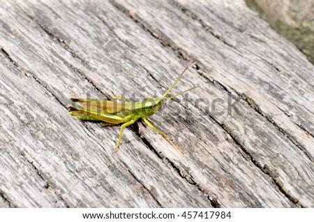 little grasshopper (on wood) - stock photo