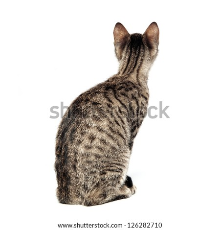 Little gray cat isolated on white background. Back view. - stock photo