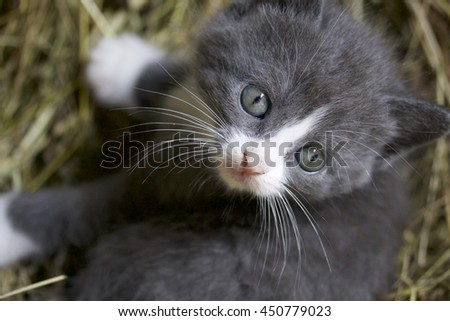Little gray kitten is looking at the world with wide blue eyes.