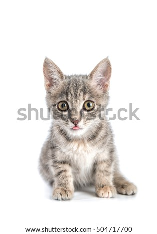Little gray kitten isolated on white background.