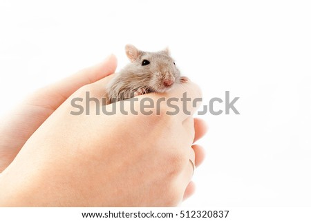 little gray mouse in a man's hand (Meriones unguiculatus)