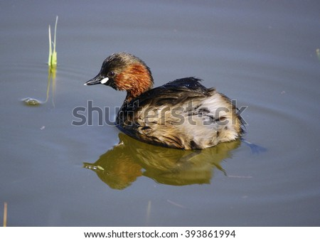 Little grebe, Tachybaptus ruficollis - stock photo