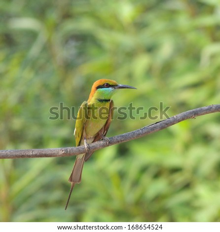 Little Green Bee-eater (Merops orientalis) - stock photo