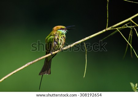 little green bee-eater with green nature background
